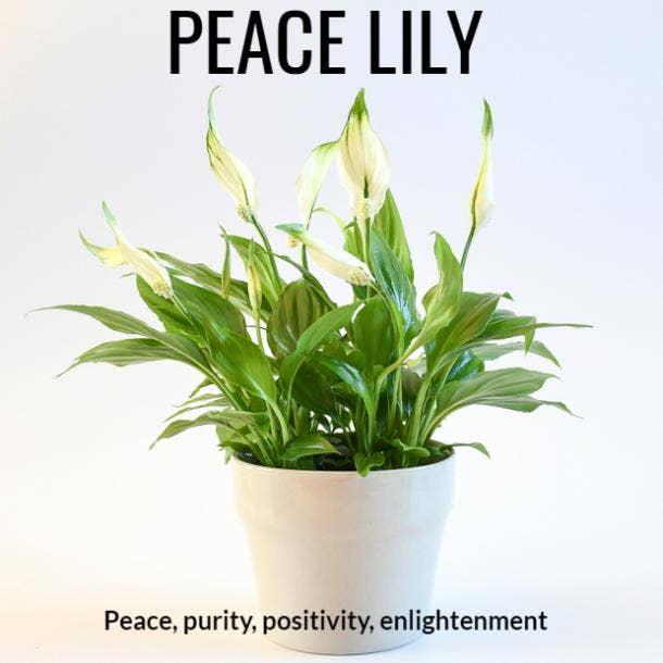 peace lily symbolism