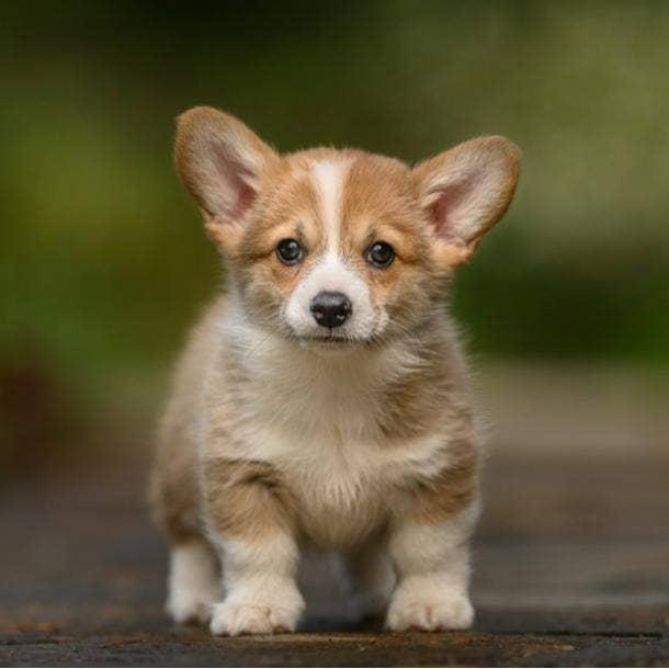 pembroke welsh corgi cutest dog breeds