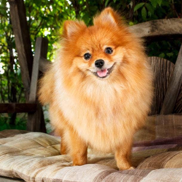 pomeranian cutest dog breed