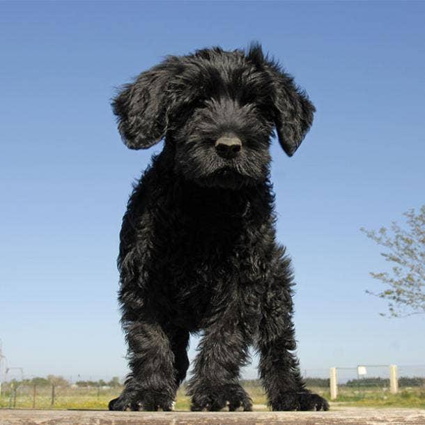 portuguese water dog puppy cutest dog breed