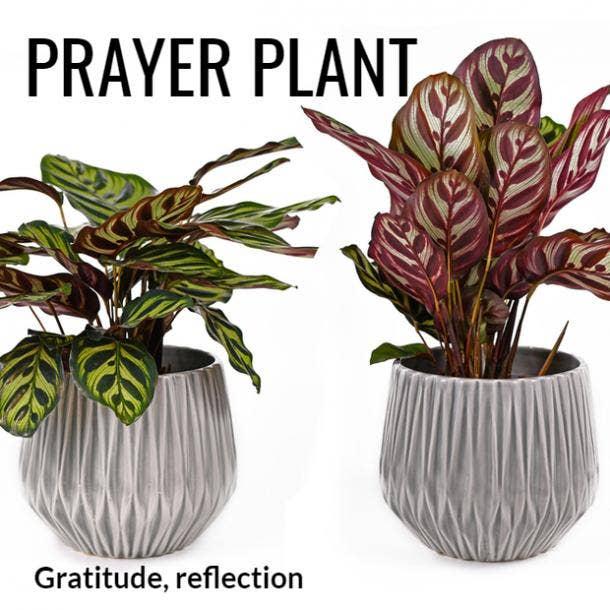 prayer plant symbolism