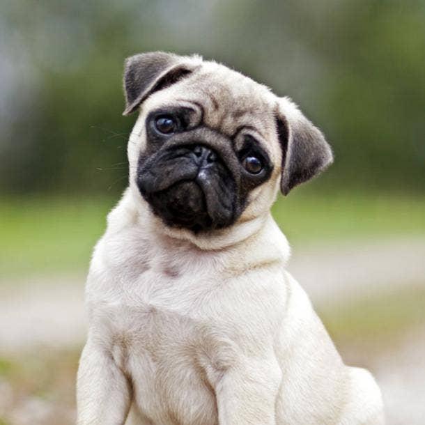 pug cutest dog breeds