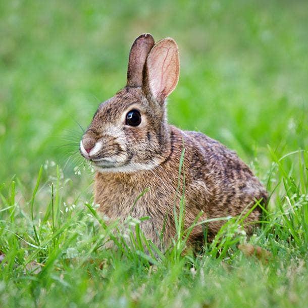 Rabbit Spirit Animal