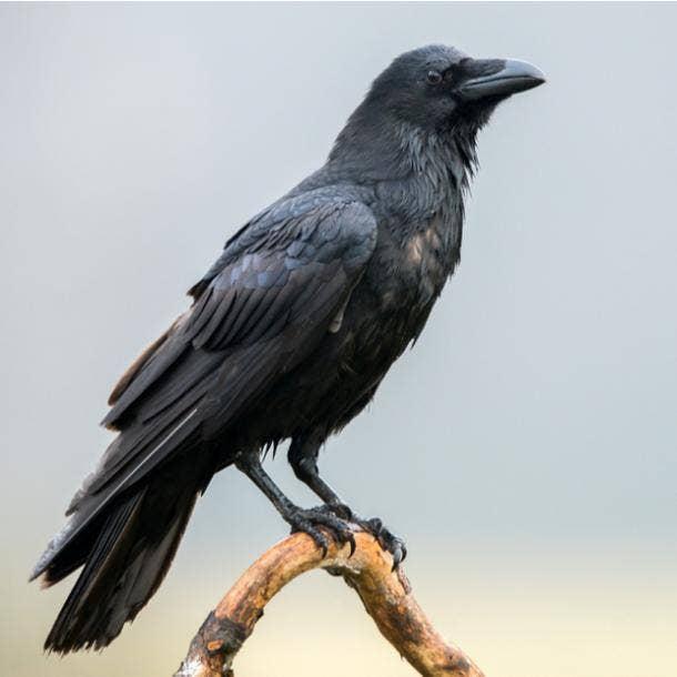 raven bird meanings