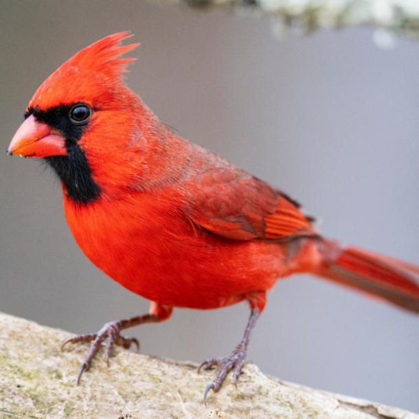 red cardinal perched on a branch