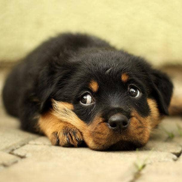 rottweiler puppy cutest dog breed