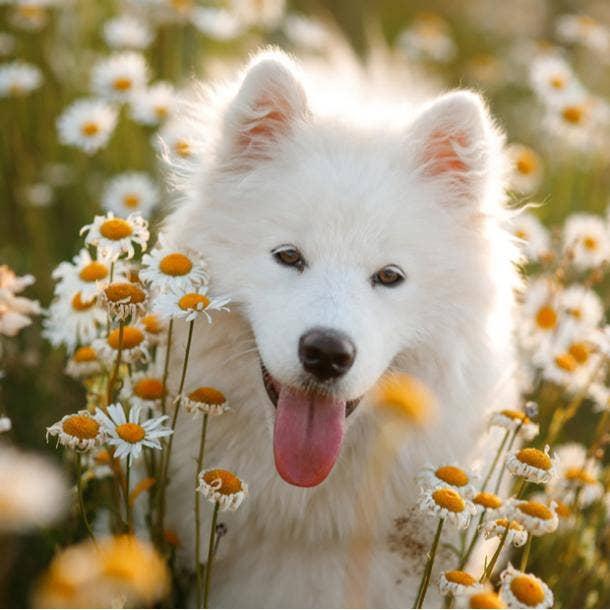 samoyed cutest dog breed