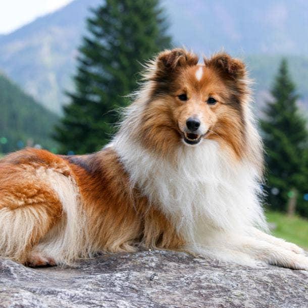 shetland sheepdog cutest dog breed