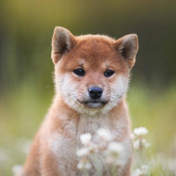 shiba inu cutest dog breed