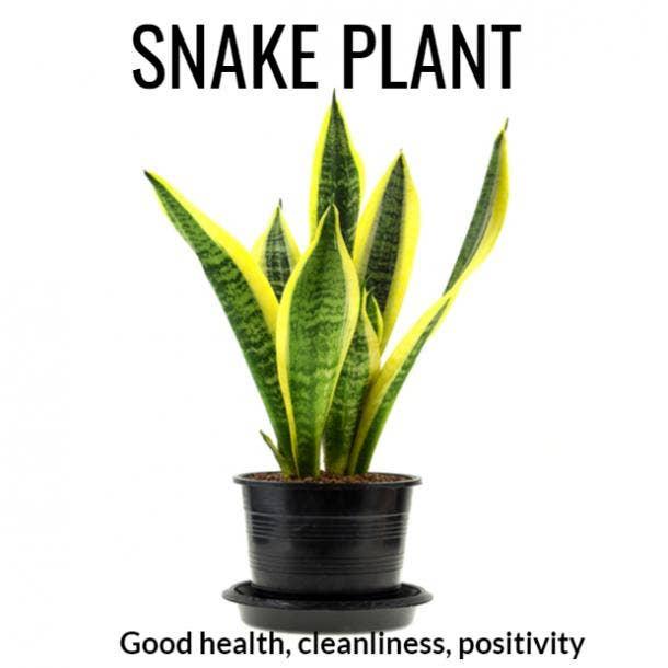snake plant symbolism