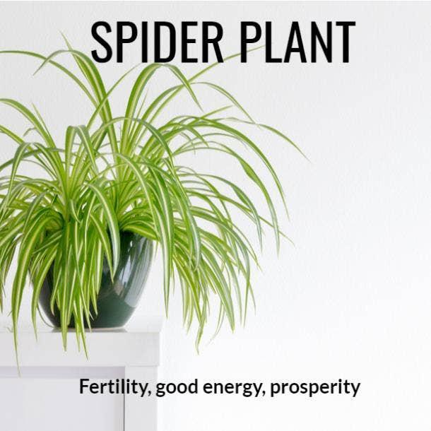 spider plant symbolism