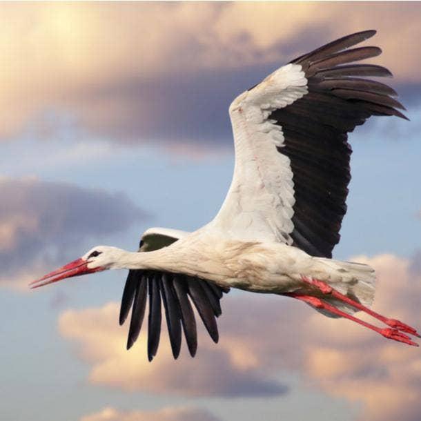 stork bird meanings