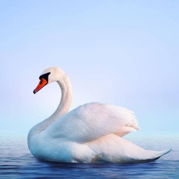 swan love symbol
