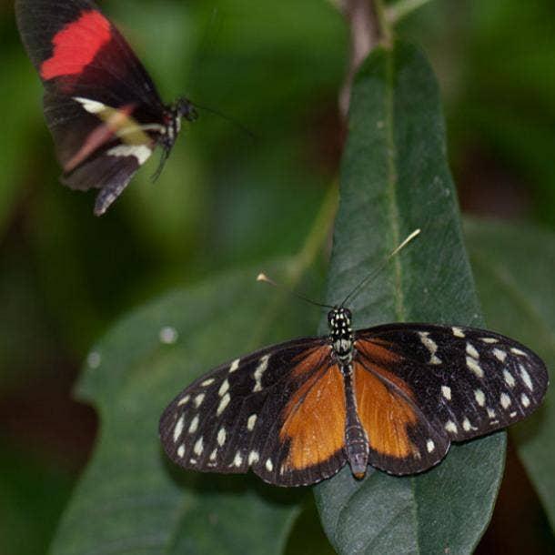 two butterflies love symbol
