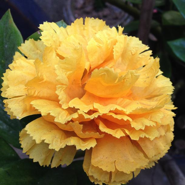 yellow carnation flowers with negative meanings