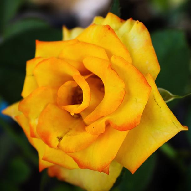 yellow rose flowers with negative meanings