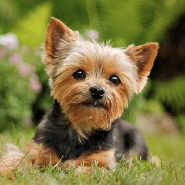 yorkshire terrier cutest dog breeds