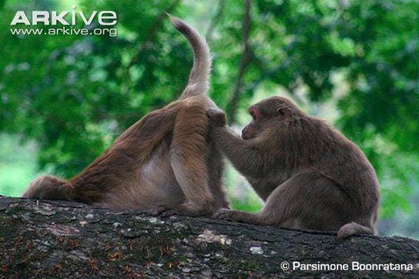 Assam Macaques