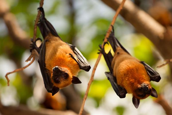 Short Nosed Fruit Bats