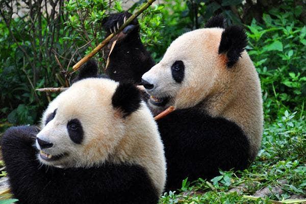Pretty Big Pandas