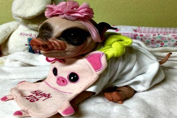 Pig with a bib.