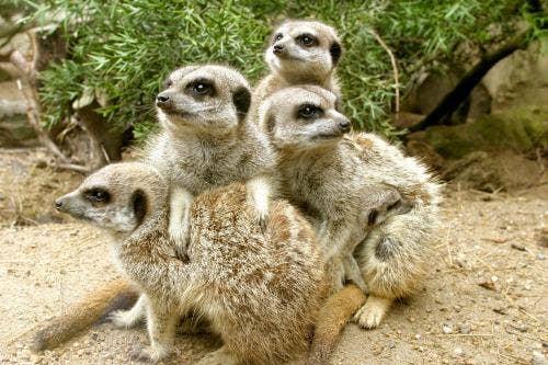 """<a href=""""http://king-animal.blogspot.com/2012/08/meerkat.html#.Up4Ay8RDvY4"""">king-animal.blogspot.com</a>"""