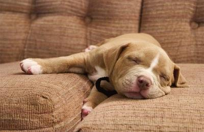 "<a href=""http://all-puppies.com/adorable-brown-pitbull-puppy-pictures-and-photos.html/brown-pitbull-puppy-pictures"">all-puppies.com</a>"