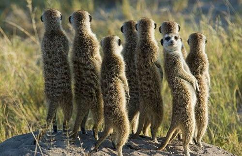 """<a href=""""http://www.telegraph.co.uk/travel/picturegalleries/6054947/Compare-our-meerkats-where-to-spot-them.html?image=4"""">telegraph.co.uk</a>"""