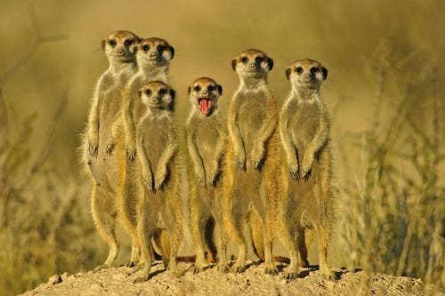 """<a href=""""http://www.hdwallpapersinn.com/meerkat-pictures.html"""">hdwallpapersinn.com</a>"""