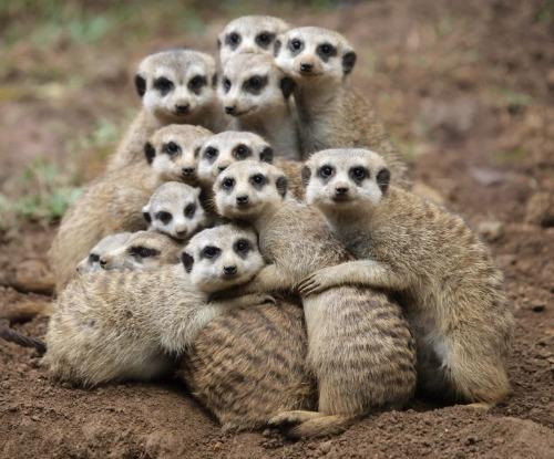 """<a href=""""http://cute-overload.blogspot.com/2012/01/meerkat-family-photo.html"""">cuteoverload.blogspot.com</a>"""