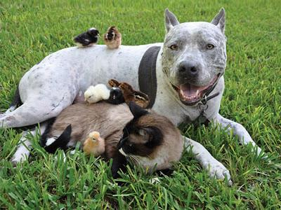 "<a href=""http://www.alop.org/2013/03/its-time-for-pit-bulls/cute-pit-bull-puppy-loves-kitten-friend-play-dog-cat-animal-adorable-fluffy-chick-baby/"">alop.org</a>"