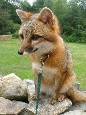 "<a href=""http://shiverz.tumblr.com/post/898200326/domesticated-gray-fox-foxy"">shiverz.tumblr.com</a>"