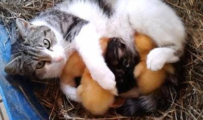 "<a href=""http://www.baxterboo.com/fun/a.cfm/watch-this-cat-nurses-ducklings"">baxterboo.com</a>"