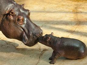 """<a href=""""http://www.express.co.uk/news/weird/281101/Baby-hippo-knows-there-s-no-one-better-than-mum"""">express.co.uk</a>"""