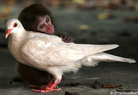 "<a href=""http://www.dailymail.co.uk/news/article-481601/The-abandoned-monkey-love-pigeon.html"">dailymail.co.uk</a>"