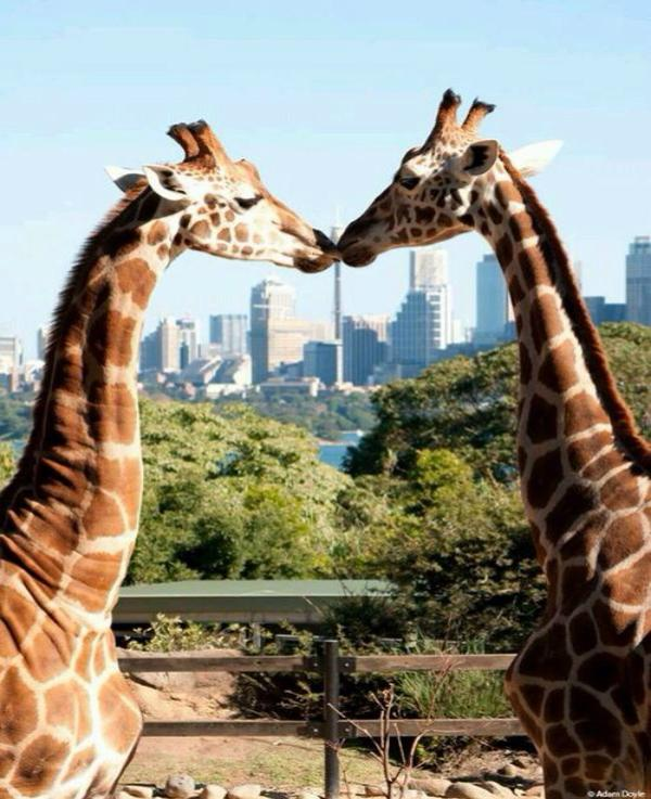 giraffes kissing