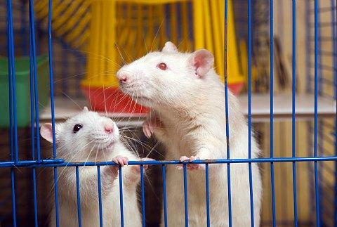 caged rats