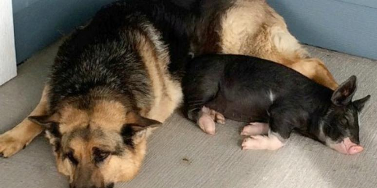 Love: German Shepherd And Piglet Form Loving, Unbreakable Bond ...
