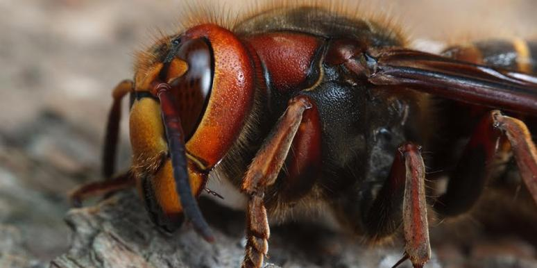 What Are Murder Hornets? The Latest Horrifying Insect Phenomenon To Plague Us In 2020