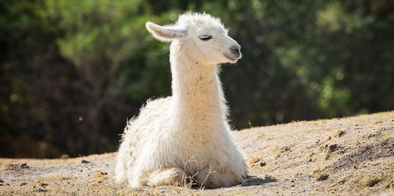Can Llamas Cure Coronavirus (COVID-19)?
