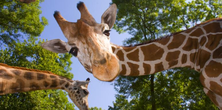 An Apology Letter From April The Giraffe