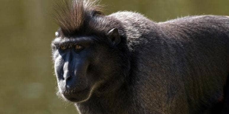 monkey-macaque