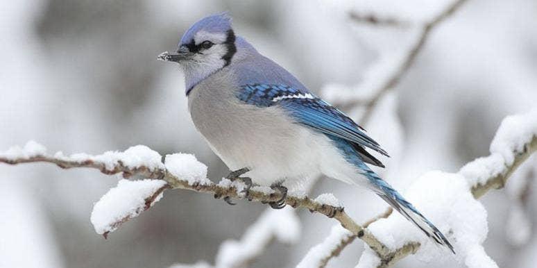 blue jay on a snowy branch