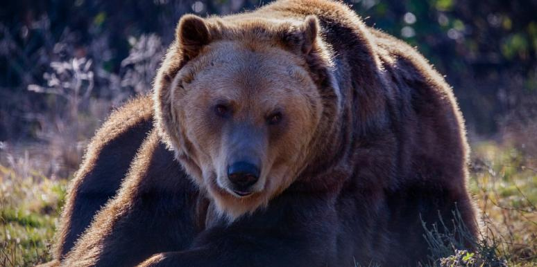 Bruno The Bear Has Traveled Over 400 Miles Alone & No One's Really Sure Why