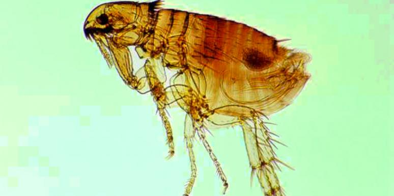 """""""Super"""" Fleas With GIANT PENISES Are Invading Britain"""