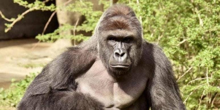 harambe gorilla killed mom