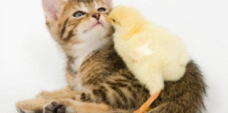 kitten chick cuddling