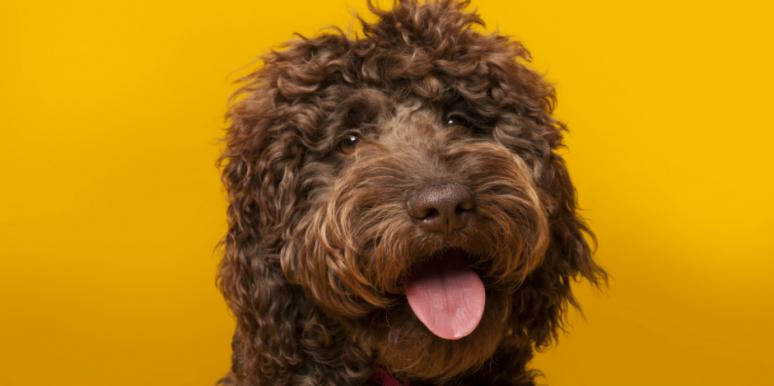 Who Is Wally Conron? New Details On Labradoodle Creator Who Says He Created A 'Monster'