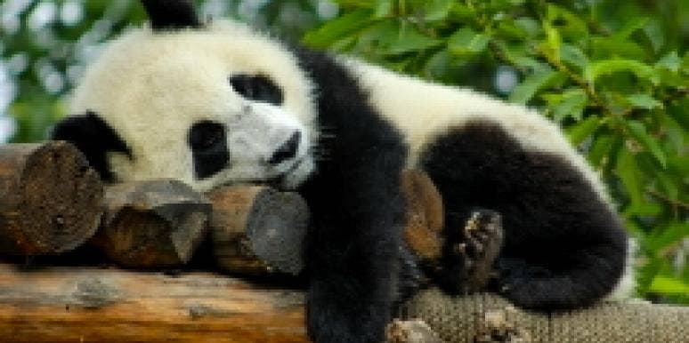 no sex panda