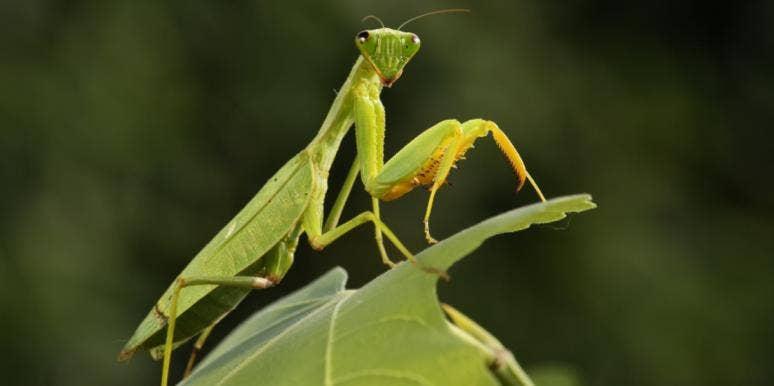 praying mantis on a leaf